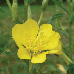 イブニングプリムローズ・月見草/Evening Primrose/Oenothera biennis