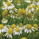 カモミール(ひまわり油にて浸出)/Camomile sur Sunflower/Chamaemelum nobile sur Helianthus annuus