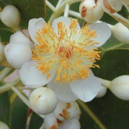 カロフィラム(テリハボク)/Calophyllum/Caloophyllum inophyllum