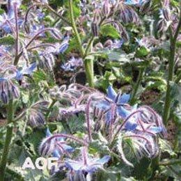 ボラッジシード(ボリジシード)/Borage seed/Borago officinalis