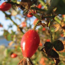 ローズヒップ/Rose hip seeds/Rose rubiginosa