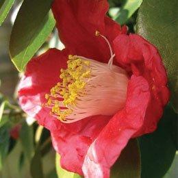 椿オイル/Camellia/Camellia japonica