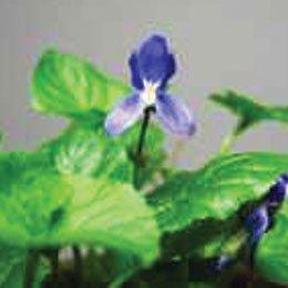 バイオレットリーフハイドロラット/Violet Leaf/Viola odorata