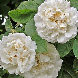 ローズアルバハイドロラット/White rose/rosa alba