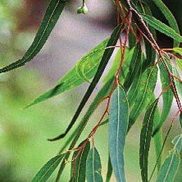 ユーカリシトリオドラ・レモンユーカリ/Eucalyptus citriodora/Eucalyptus citriodora