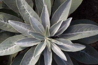 ホワイトセージ/White Sage/Salvia apiana