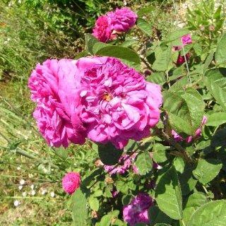 ローズABS/Rose ABS/Rose centifolia