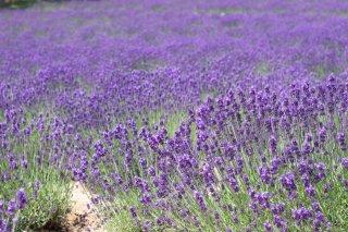 ラベンダー40/42/Lavender 40/42/Lavandula ssp.