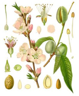ビターアーモンド/Bitter Almond/Prunus amygdalus