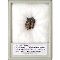 トリケラトプスの歯 (産地 アメリカ、サウスダコタ州)
