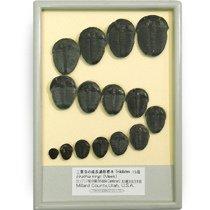 三葉虫の成長過程標本