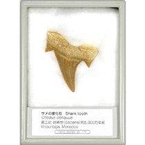 サメの歯化石(オトダス) (産地 モロッコ)