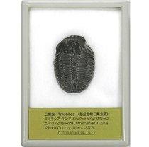 三葉虫(エルラシア) (産地 アメリカ、ユタ州)