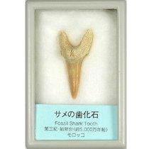 サメの歯化石 小 (産地 モロッコ)