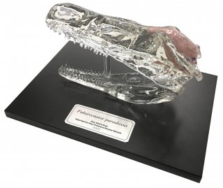◆受注生産品◆フクイベナートル・パラドクサス (透明頭骨)