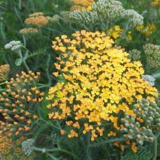 アキレア 'テラコッタ' Achillea millefolium 'Terracotta'