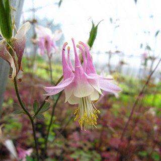 アキレジア カナデンシス 'ピンクランタン' Aquilegia canadensis 'Pink Lanterns'