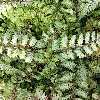 アシリウム 'シルバーフォール' Athyrium niponicum var. pictum 'Silver Falls'