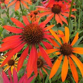 エキナセア 'ホットサマー' Echinacea 'Hotsummer'