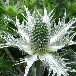 エリンジウム ギガンチウム `シルバーゴースト'  Eryngium giganteum 'Silver Ghost'