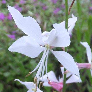 ガウラ 'ホワイトファウンテン'  Gaura lindheimeri 'White fountain'