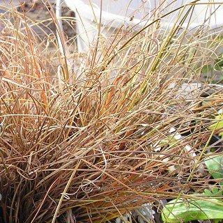 カレックス 'バッドヘアーデイ'  Carex 'Bad Hair Days'