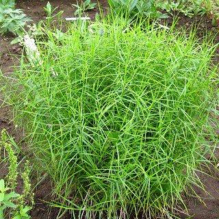 カレックス マスキングメンシス 'リトルミッジ'  Carex muskingumensis 'Little midge'