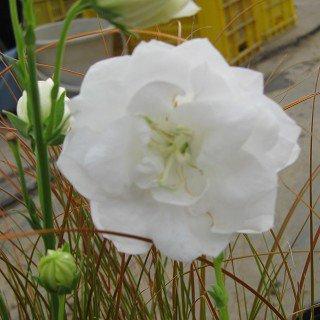 カンパニュラ パーシシフォリア 'モーハイミ'  Campanula persicifolia 'Moerheimii'