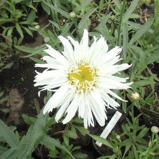 クリサンセマム 'スノードリフト'  Chrysanthemum maximum 'Snowdrift''