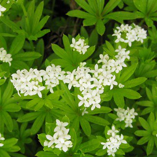 クルマバソウ  Galium odoratum