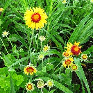 ゲーラーディア 'アンバーホイール'  Gaillardia  aristata 'Amber Wheels'
