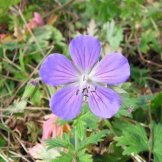 ゲラニウム 'ジョンソンズブルー'  Geranium 'Johnson's Blue'