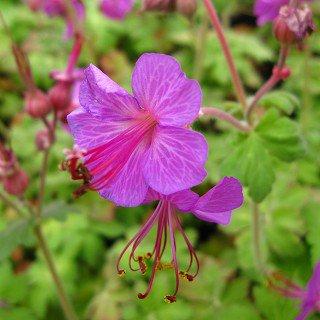 ゲラニウム 'ビーバンズバラエティ'  Geranium macrorrhizum 'Bevan's Variety'