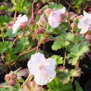 ゲラニウム カンタブリジェンス 'ビオコボー'  Geranium x cantabrigiense 'Biokovo'