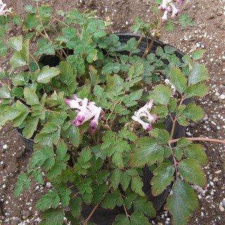 コーリダリス 'シルバースペクター'  Corydalis leucanthema 'Silver Spectre'