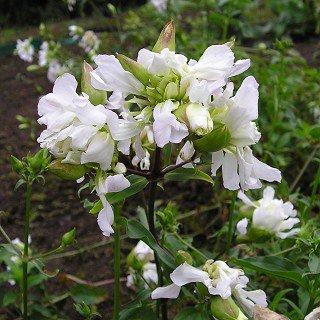 サポナリア オフィシナリス 'アルバプレナ' Saponalia officinalis 'Alba Plena'
