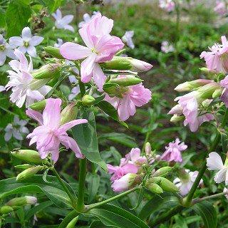 サポナリア オフィシナリス 'ロゼアプレナ' Saponalia officinalis 'Rosea Plena'