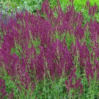 サルビア ネモローサ 'シュベレンバーグ' Salvia nemorosa 'Schwellenburg'