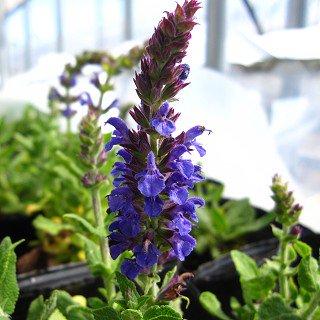 サルビア ネモローサ 'マローブルー' Salvia nemorosa 'Merleau Blue'