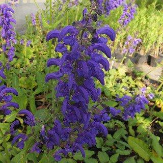 サルビア プラテンシス 'トワイライトセレナーデ' Salvia pratensis 'Twilight Serenade'