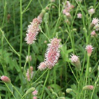 サンギソルバ オフィシナリス 'ピンクタンナ' Sanguisorba officinalis 'Pink Tanna'