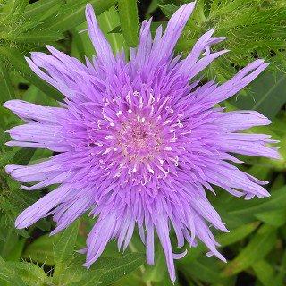ストケシア レアビス 'ブルー' Stokesia laevis 'Blue'
