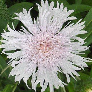 ストケシア レアビス 'ホワイト' Stokesia laevis 'White'