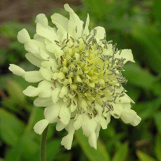 セファラリア ギガンティア Cephalaria gintea