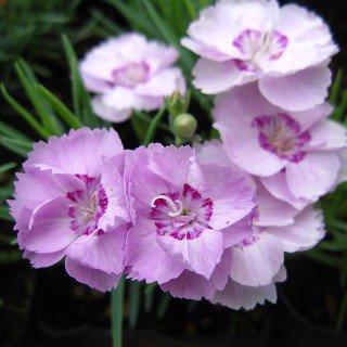 ダイアンサス 'ライオンロック' Dianthus sp