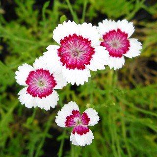 ダイアンサス デルトイデス 'アークティックファイヤー' Dianthus deltoides 'Arctic Fire'