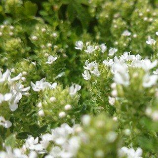 タイム クリーピングタイム 白花 Thymus serpyllum