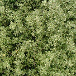 タイム シルバータイム Thymus x citriodorus cv. Argenteus
