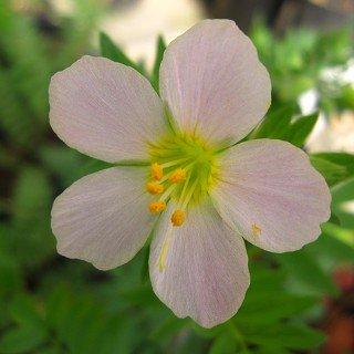 ポルモニウム 'アプリコットディライト' Polemonium caeruleum 'Apricot Delight'