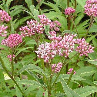 ユーパトリウム フォーチュナイ 'ピンクフロスト' Eupatorium fortunei 'Pink Frost'